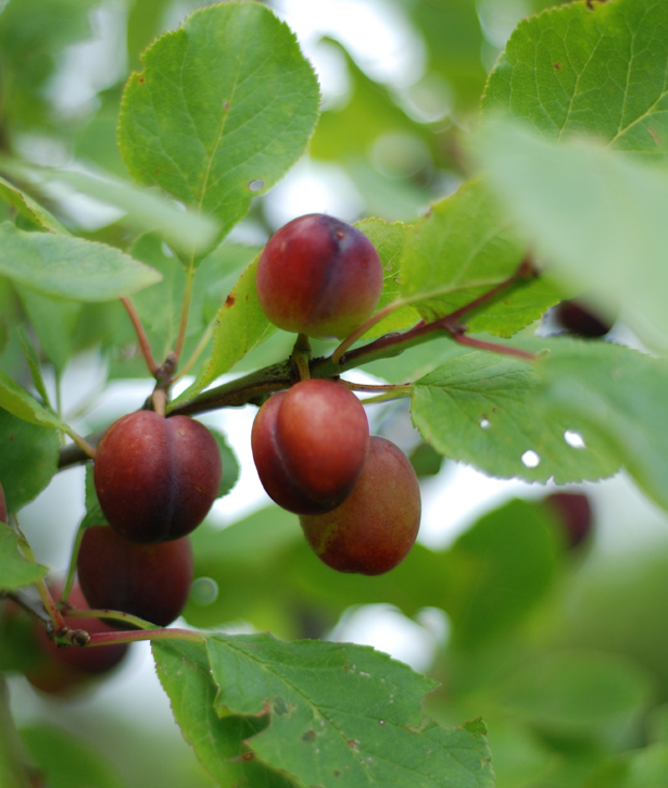 grow great plums for flavour